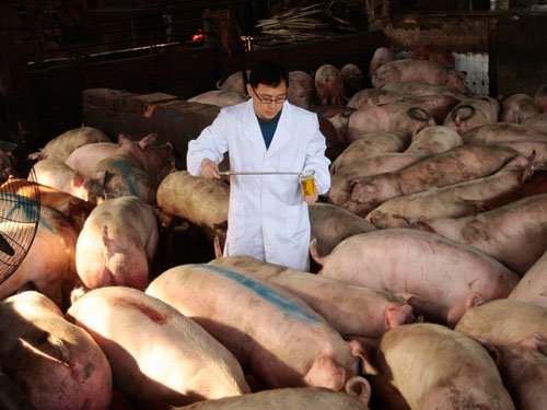A Health Quarantine Officer Collects Urine Samples Of Pigs To Run Tests On Ractopamine At A Pig Farm In Nanjing