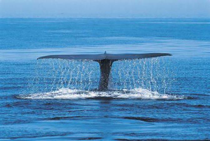 Racing Extinction Blue Whale Balenottera Azzurra